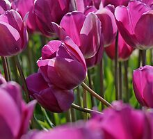 Purple Spring Tulips by Debbie Stika