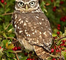 Little Owl in Hawthorn by Mark Hughes