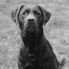 Choc Lab Murphy by Abigail Jennings