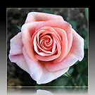 Sweet Serenity - Pink Rose in Reflection Frame by BlueMoonRose