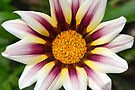 Purple Gazania by William Brennan