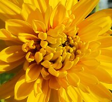 Yellow Beauty by Debbie Robbins
