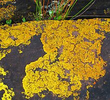 Yellow Lichen by Michael John