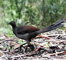 Superb Lyrebird taken at Mt Stirling in Victoria by Alwyn Simple