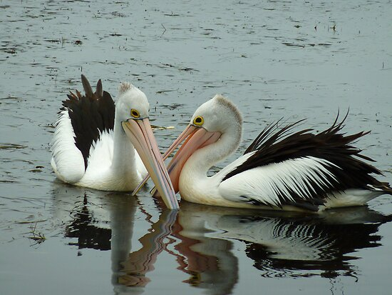 Pelicans on Donna's Lake! by Sharon Brown