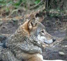 Mr Wolf to you! by Dorothy Thomson