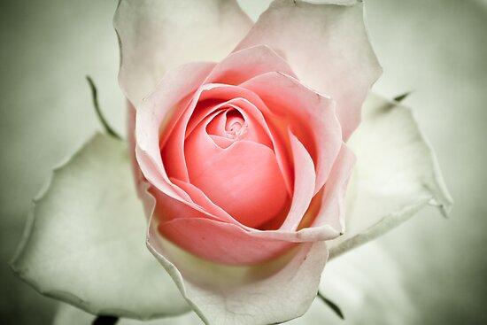 vintage rose by martine fitchett