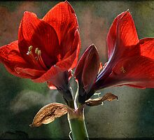 Amaryllis for you  by Johanna26