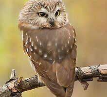 Northern Saw-whet Owl's look-back pose. by Daniel Cadieux