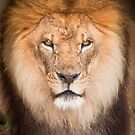 """Mane Attraction"" - closeup of male lion by John Hartung"