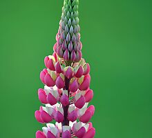 Pink Lupine by Glenda Williams