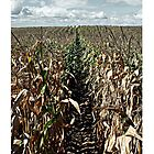 September Cornfields - iPhone Case by Kristina Gale