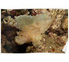 Leaf Scorpionfish (Taenianotus triacanthus) Kimbe,Papua New Guinea Poster