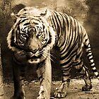 Tiger  by Ben Case