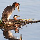 Red-necked Grebes by Alinka