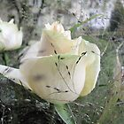 The Beauty of a Rose by orko