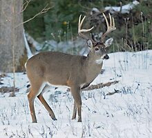 East Tennessee Whitetail by ewersphoto