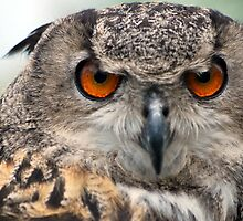 European Eagle Owl by Tracey Colon
