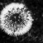 Dandelion by tiptoncreative
