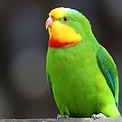 ''Superb Parrot'' by bowenite