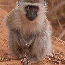 Vervet Monkey at Pafuri, Kruger National Park, South Africa by Erik Schlogl
