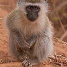 Vervet Monkey at Pafuri, Kruger National Park, South Africa by Erik Schlogl