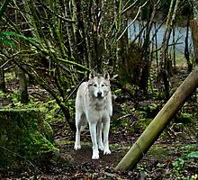 White Wolf by richchop