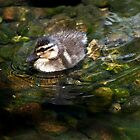 Duckling  by fisherfreek
