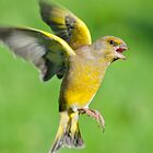 Greenfinch ~ In flight by Margaret S Sweeny