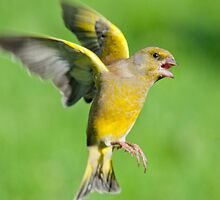 Greenfinch ~ In flight by M.S. Photography & Art