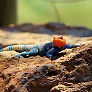 Vibrant Male Agama Lizzard!!! by mrsjaques