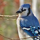 Blue Jay in Autumn by lorilee
