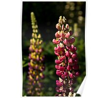 Pink Lupins Poster
