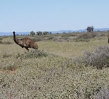 Emus in the saltbush by Congolli