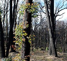 Post February 2009 Bushfires - west of Kinglake June09 by OzNatureshots