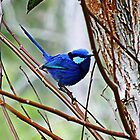 Blue Wren by Julia Harwood