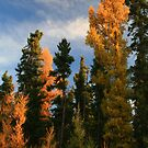 """""""  The beautiful Deciduous - Conifer  """" by fortner"""