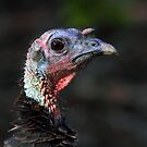 Wild Turkey by Jim Cumming