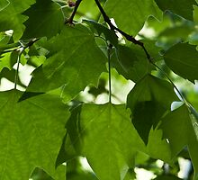 Green Leaves by Wealie