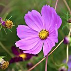 Pink Cosmos by PhotosByHealy