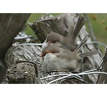3 Fairy Wren chicks waiting to be fed Photographic Print