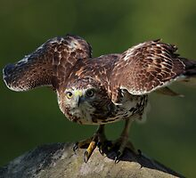 Red Tail Hawk by Rob Lavoie