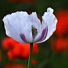 White Poppy by Jennifer Lyn King