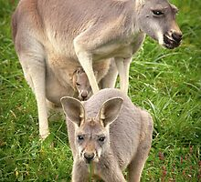 """Hop Along"" - red kangaroos by John Hartung"