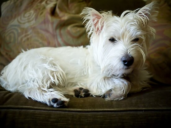 Sleepy Westie by Edward Fielding