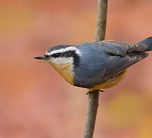 Red-breasted Nuthatch by Daniel Cadieux