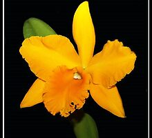 Laelia (or Cattleya) Orchid by vette
