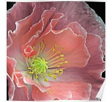 Pink Poppy close-up Poster