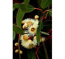 Eucalypt Flowers Photographic Print