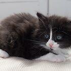 Kitten by Paul Murray